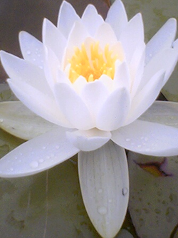 Shambhala_Online/lotus250x334.png