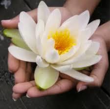 Toronto/white_lotus_in_hands.jpg