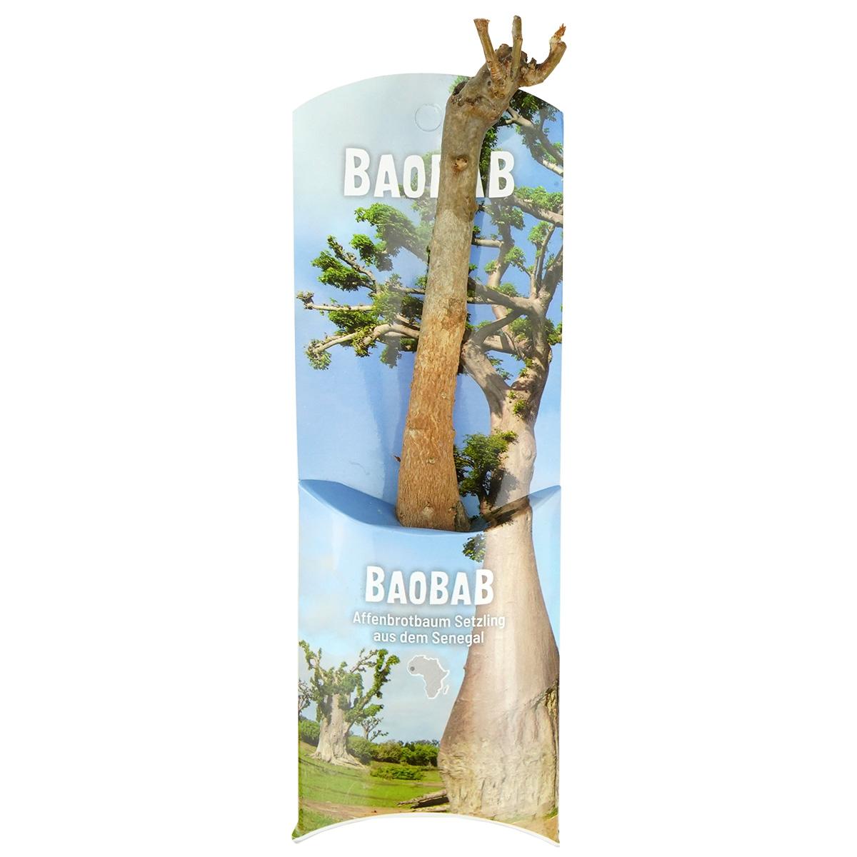 Africa's Big 5 Fairtrade Baobab/Affenbrotbaum Setzling