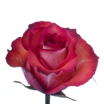 a red rose on a flower