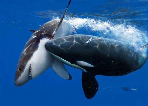 Amazing Shot of a Killer Whale Attacking a Great White Shark by crenk