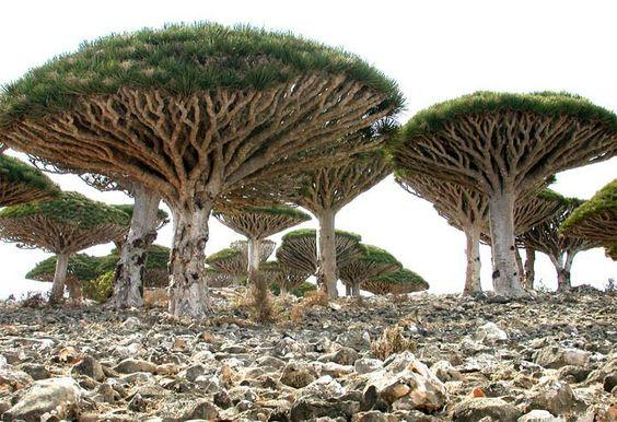 dracaena tree strange trees on the island of Socotra by crenk