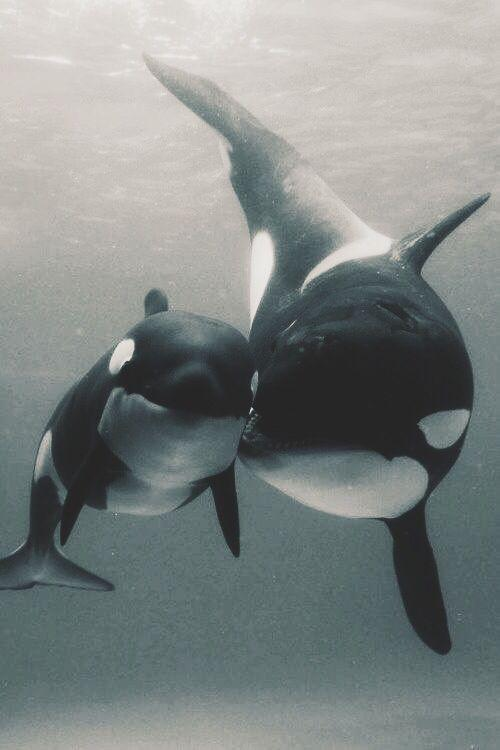 Orca Mum and Orca Baby Playing Together by crenk