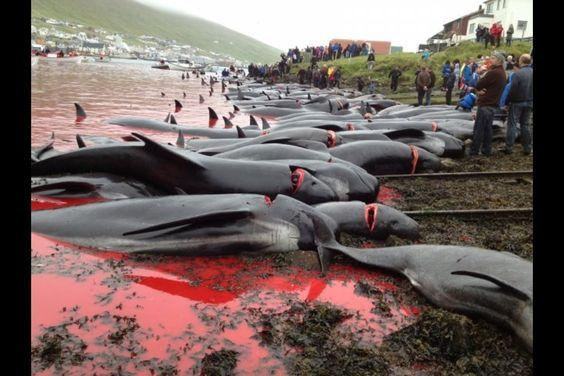 150 pilot whales KILLED TODAY in the Faroe Islands by admin