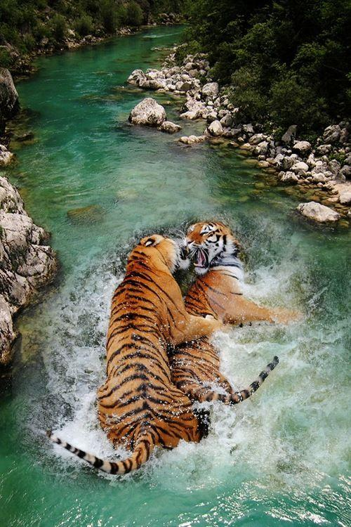 Two Siberian Tigers Fighting in the Water by crenk
