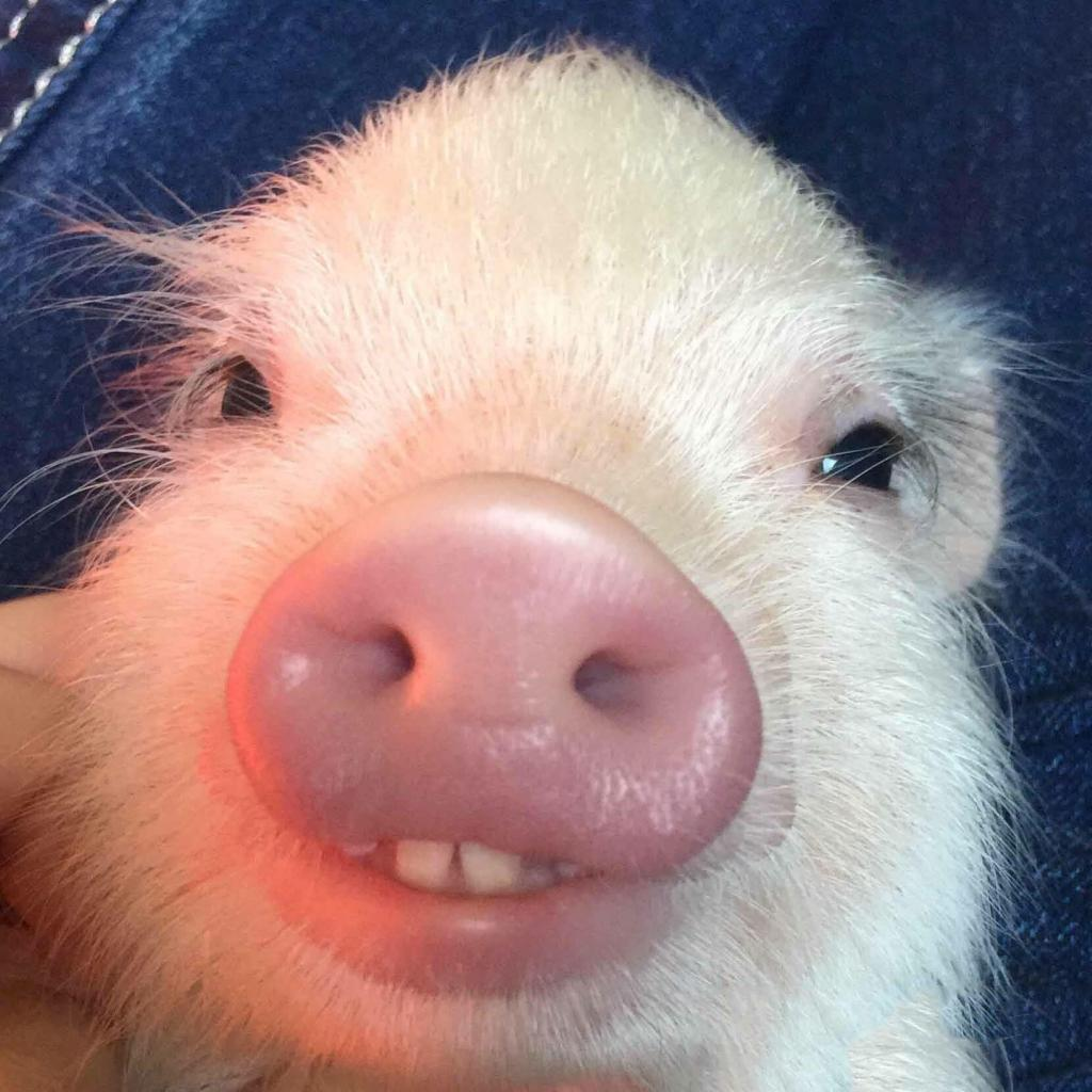 Baby Pig with Buck Teeth by crenk