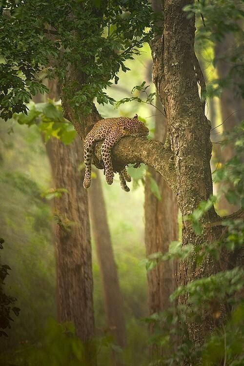 Leopard Sleeping on the Branch of a Tree by crenk