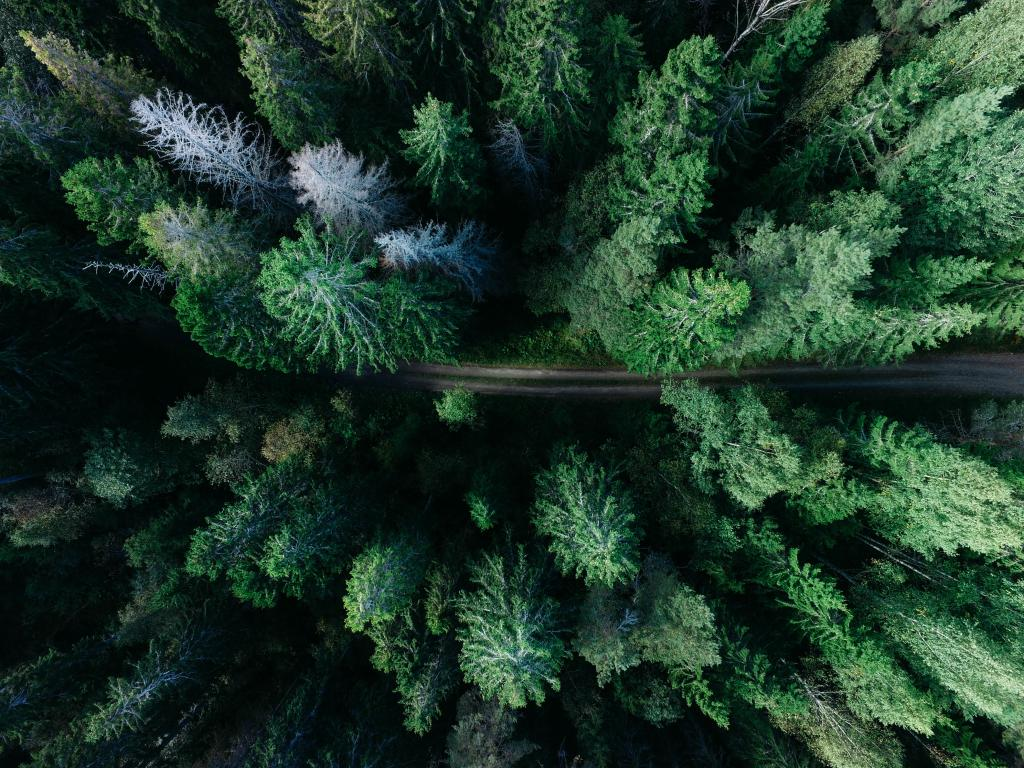 Aerial view of a pine forest from a drone by crenk