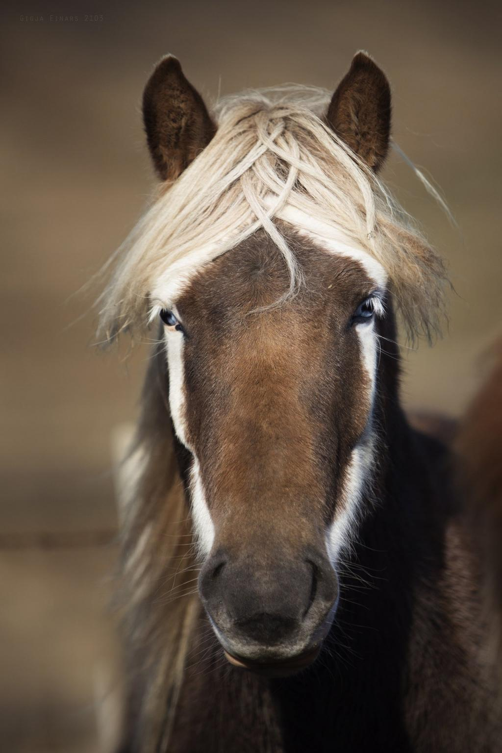 Close up of an Icelandic Horse by crenk