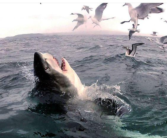 Great White Shark - Breaching over a group of seagulls  by crenk