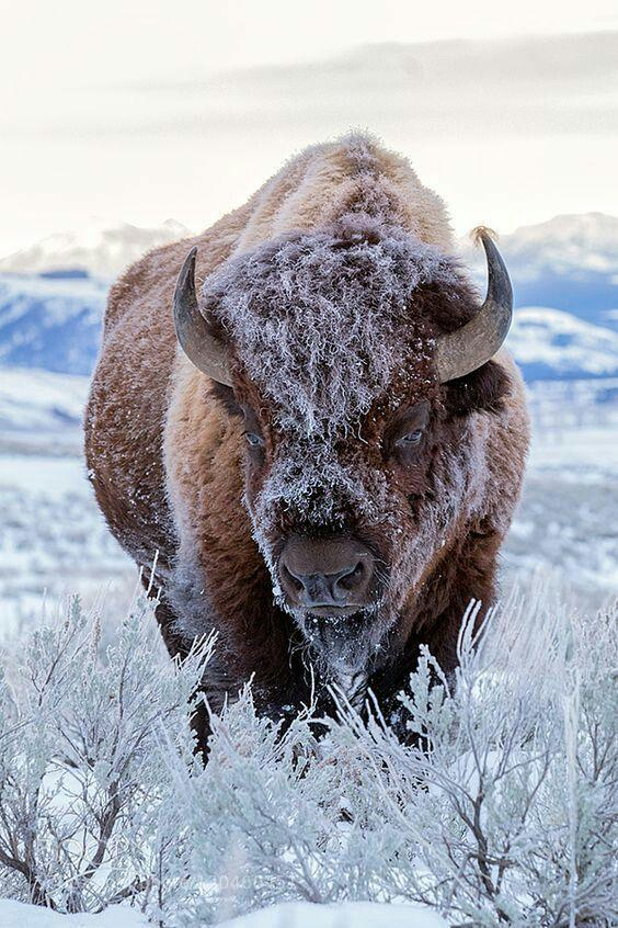 Amazing Bison Shot in Alaska by crenk