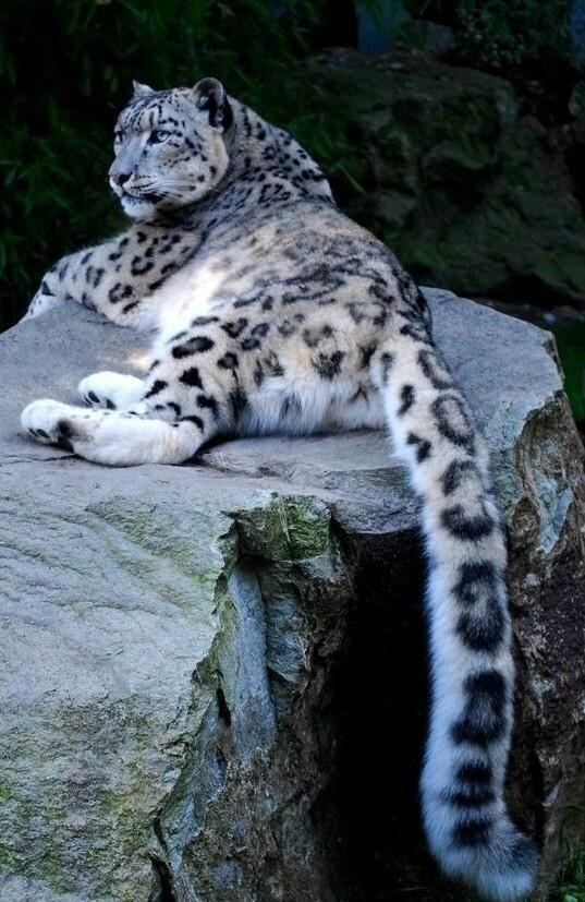Snow Leopard in Captivity Sitting on a Rock in a Zoo by crenk