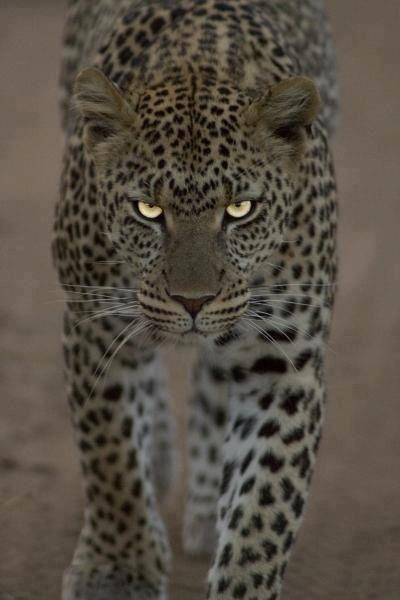Eye of the Leopard by crenk