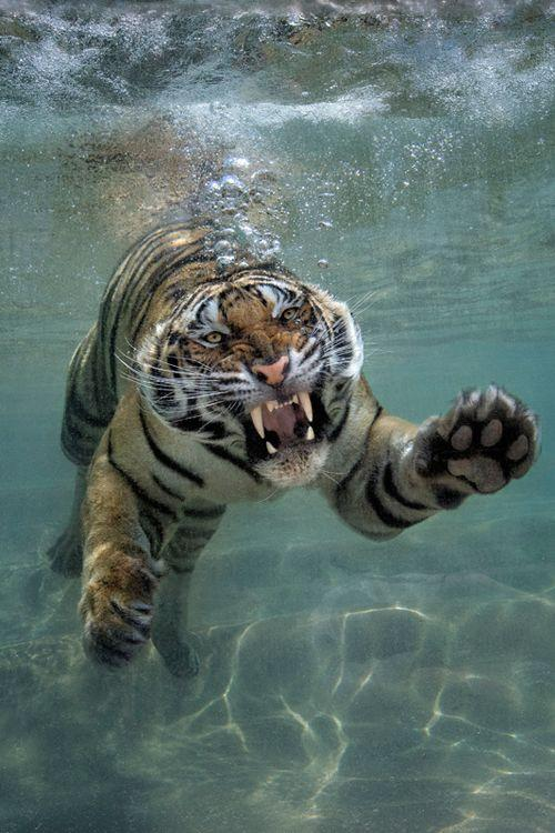 Swimming Tiger Coming to Eat You by crenk