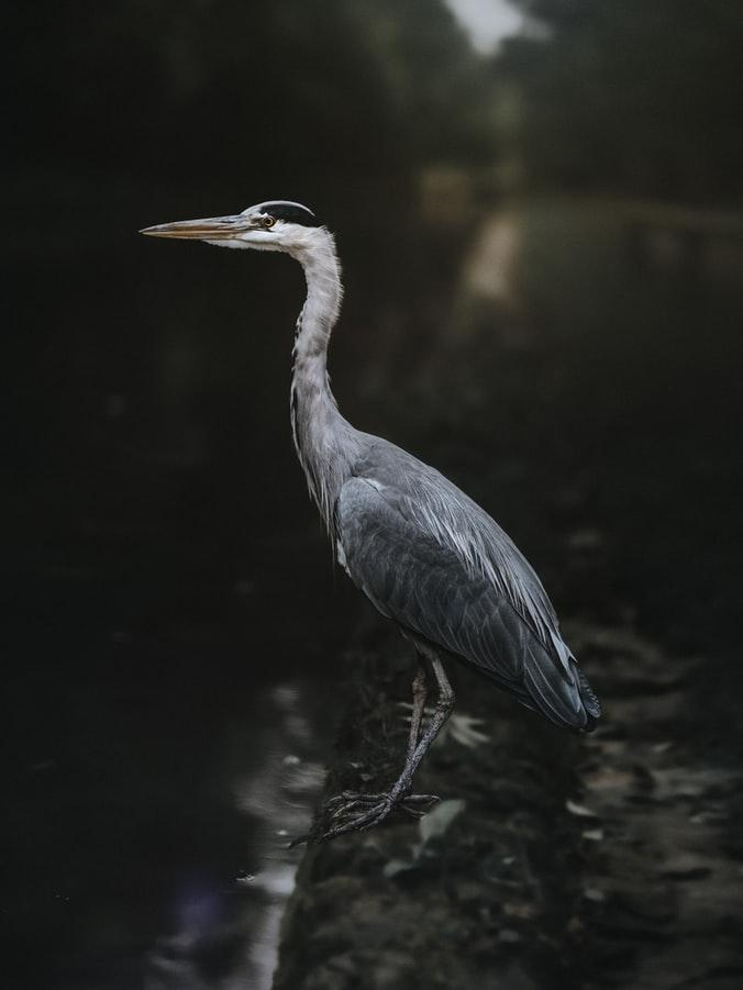 Grey Heron just Sitting in a Lake by crenk