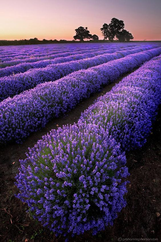 Amazing Field of Purple Lavender by admin