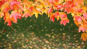 Värikkäät vaahteran lehdet