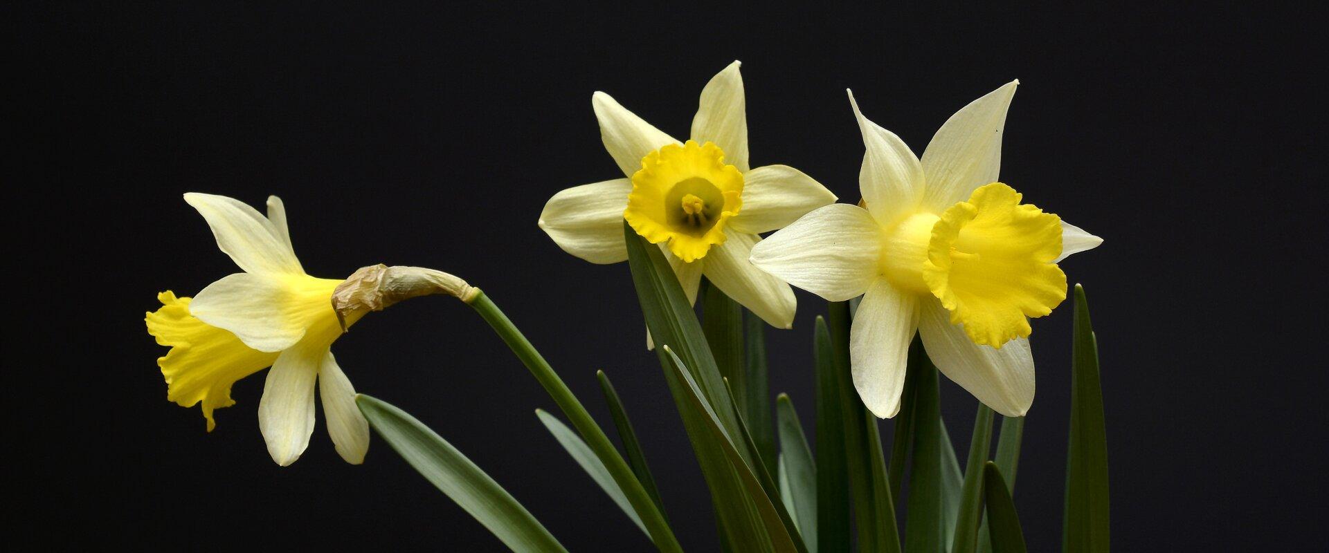 Narsissit