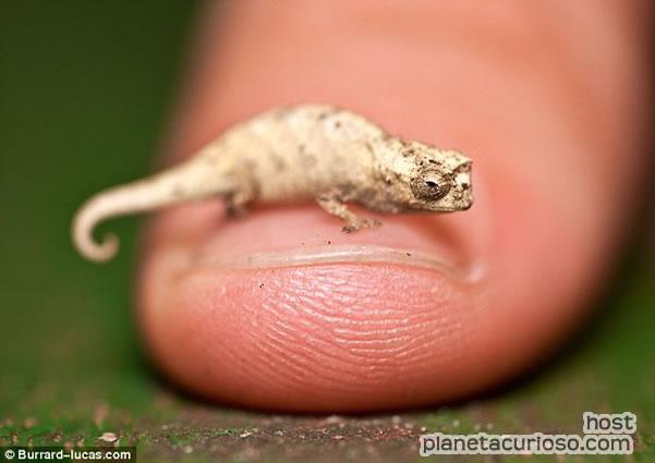 Descubren al camaleón más pequeño del mundo, del porte de una uña