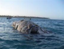 Encuentran ballena muerta en costa playera