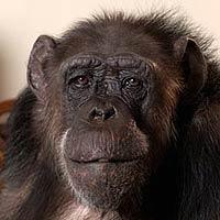 Muere la mona Chita, la inolvidable acompañante de Tarzán