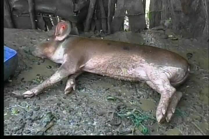 Mueren decenas de cerdos en Montecristi y Dajabón, según productores