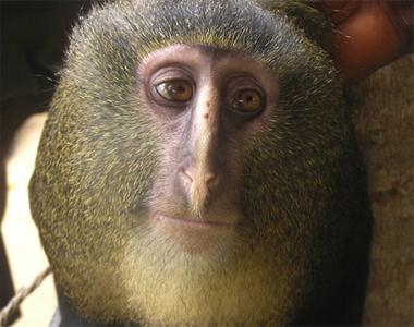 Descubren una nueva especie de mono africano en el corazón del Congo