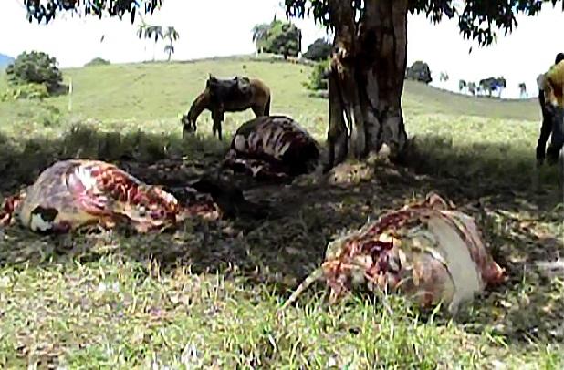 Cuatreros descuartizan vacas lecheras en distintos lugares del Cibao