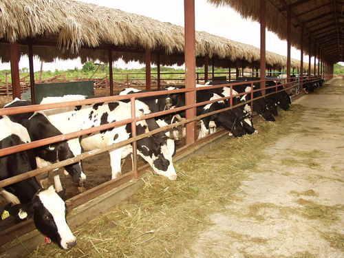 Sector lechero se siente amenazado por sequía y exportaciones desleales