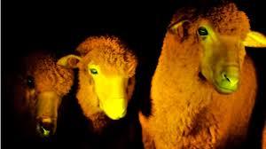 Nacen en Uruguay ovejas que brillan con luz ultravioleta