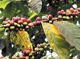 Presidente declara de interés nacional controlar la Roya del Cafeto