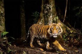 Trece años de prisión a un empresario chino por comerse a tres tigres