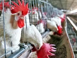 Sacrifican 37 mil pollos en el oeste de Japón por nuevo brote de gripe aviar
