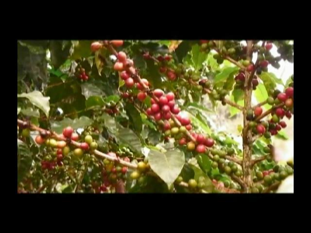 Medina autoriza créditos por RD$39 millones para productores de café