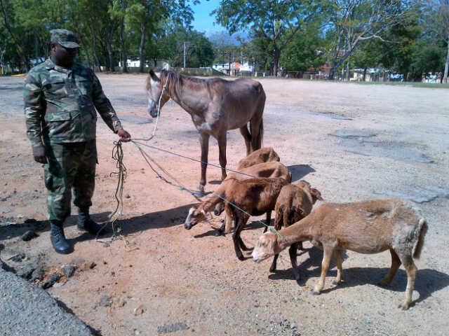 Ejército recupera cinco ovejas y un caballo