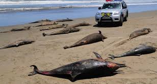Hallan unos 800 animales muertos en costa norte de Perú