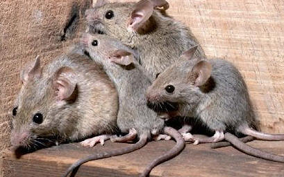 Nueva York resta importancia al alto número de quejas por ratas en la ciudad