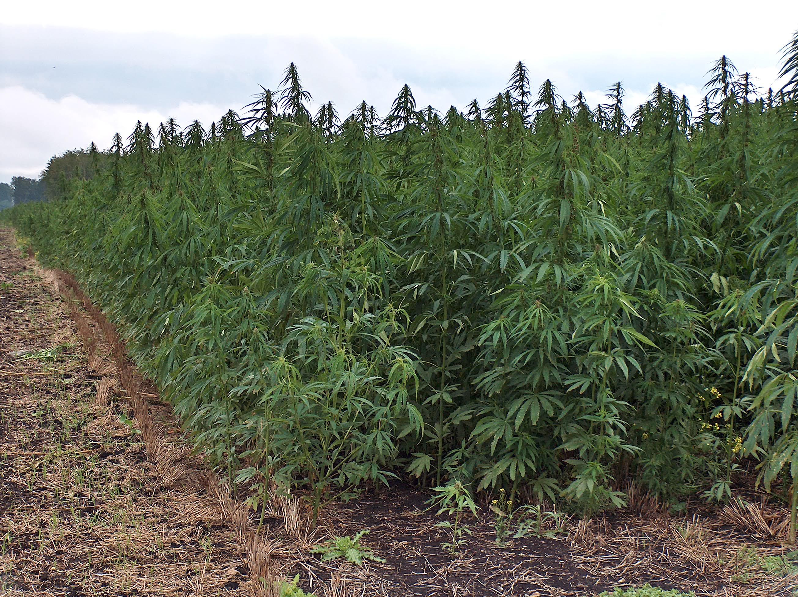 Utilizaban plaza de toros para ocultar plantación de marihuana en España