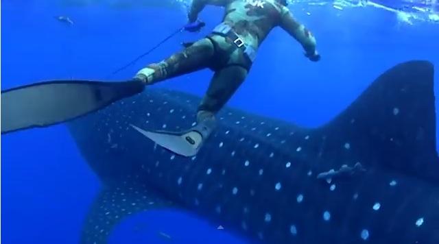 Enorme tiburón ballena choca buzo cuando pescaba