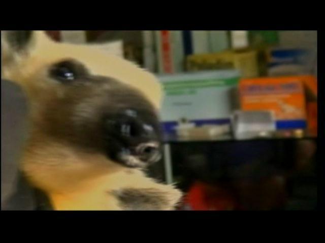 Encuentran oso hormiguero en una vereda