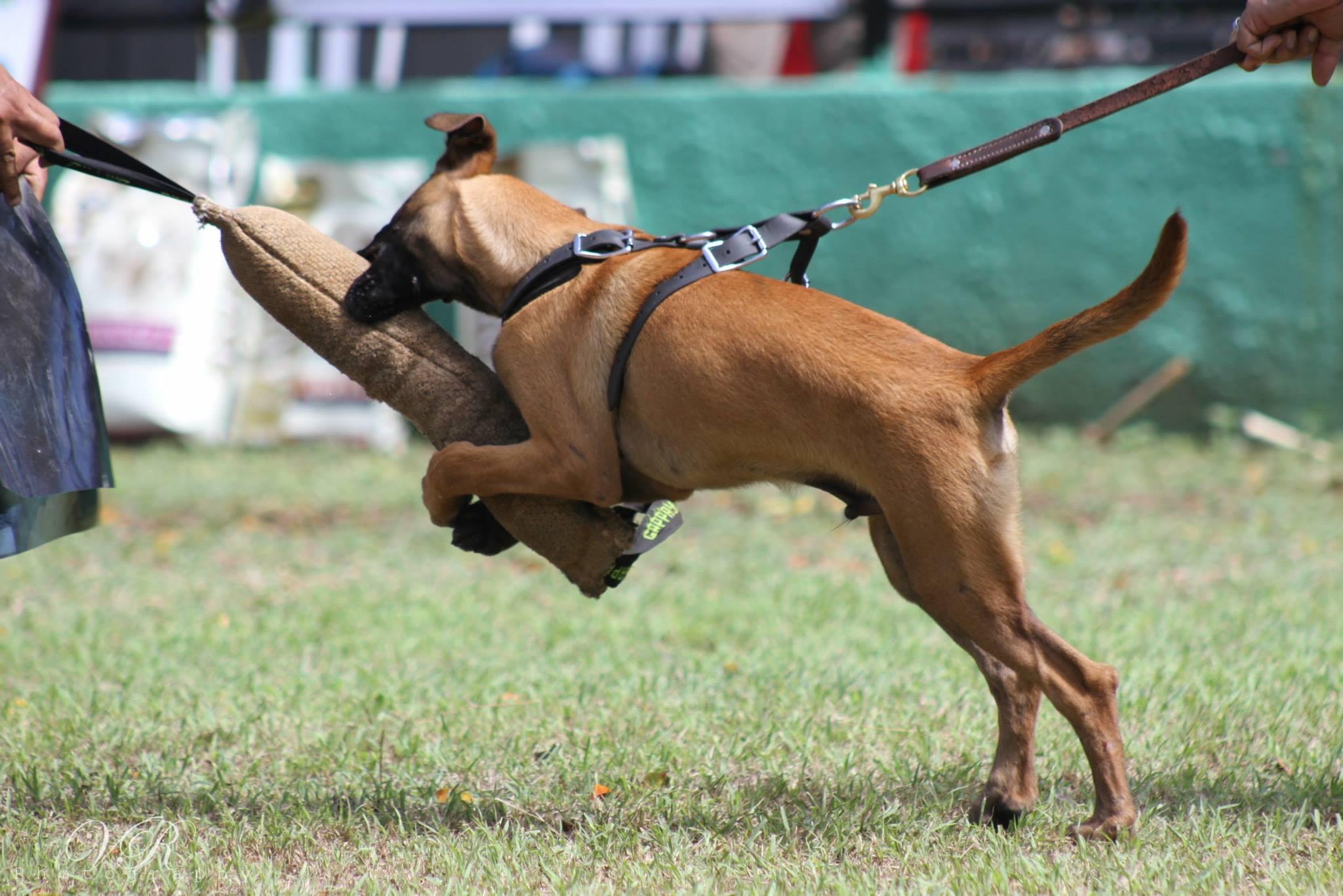 Realizan segunda competencia internacional de protección con caninos