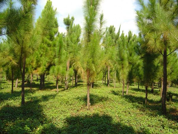 Plantan más de 100 mil arbustos de pino y caoba en cordillera Central en 2104