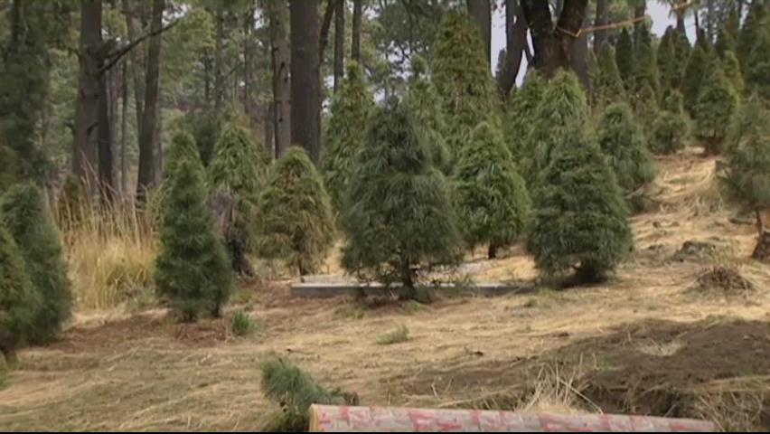 Arbolito alquilado para navidad; buscan preservar el medio ambiente