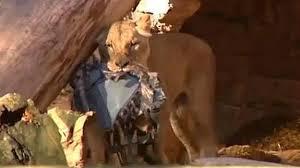 En estado crítico hombre que entró al recinto de los leones en zoológico