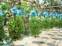 Producción bananera y ganadería de Hatillo Palma en peligro