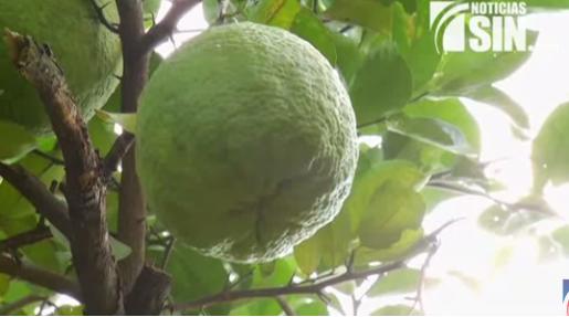 ¡Limones gigantes! Tan grandes como un balón de fútbol