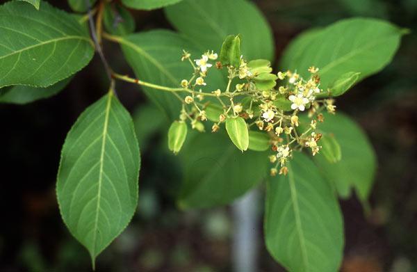 El remedio para la obesidad podría estar en el extracto de una planta común
