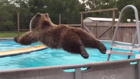 ¡El oso feliz! Saltando a una piscina combate el calor
