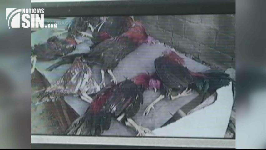 Personas no identificadas matan más de 12 gallos en Santiago