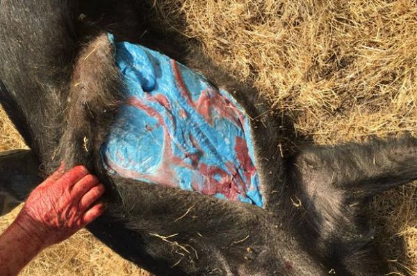 Descubren un cerdo con grasa de color azul en California